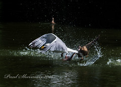 Hit and run (muppet1970) Tags: water duck fight gull duckling mallard splash snatched christchurchpark herringgull predation