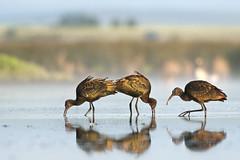 white-faced ibis (Plegadis chihi) (T-Gauthier) Tags: nature birds wildlife birding ibis 400mm wadingbird whitefacedibis plegadischihi marshbird canonef400mmf56lusm 400mmf56