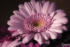 Gerbera, my favorite flower! (kaffealskare) Tags: pink favorite plant flower color texture rosa gerbera blomma bouquet favorit brightlycolored bukett goldbackground frggranna