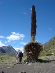 Puya raimondii, Peru