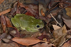 Green Tree Frog (Litoria caerulea) (shaneblackfnq) Tags: green tree frog litoria caerulea shaneblack amphibian whites waterhole water almaden fnq far north queensland australia tropics tropical dry arid