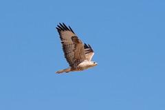 flying eagle (Torsten Sodemann) Tags: iran qeshmisland