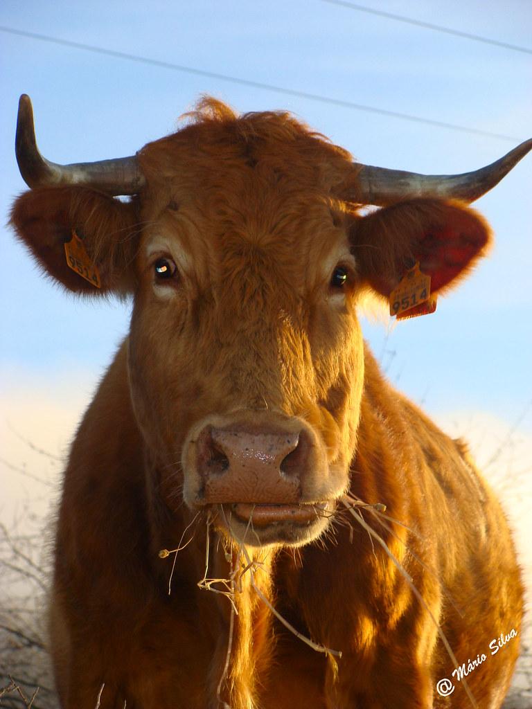 Águas Frias (Chaves) - ... vaca ruminando um pouco de feno ...