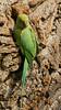 Parakeet Barking Up Wrong Tree (paulinuk99999 - tripods are for wimps :)) Tags: paulinuk99999 roseringed parakeet london river thames green bird wildlife psittaculakrameri sal70400g