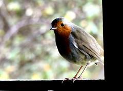 Do not forget my seed (ericy202) Tags: robin birdhidewindow norfolk