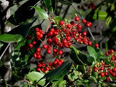 Toyon--Heteromeles arbutifolia (Polioptila caerulea) Tags: heteromelesarbutifolia heteromeles toyon