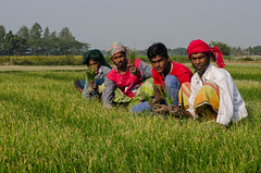 _SKS1214 (shovan_sabuz15) Tags: onionfarmerfarmer bangladesh agriculture shovankhansabuz nikond7000 nikkor50mmf14d