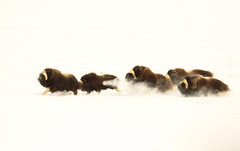 Musk oxen on a Mission (blkwolf1017) Tags: muskox muskoxen tundra snow winter cold nomad canon50d sigma80400mm