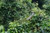 DSC_6840_LR (CharlieBro) Tags: 2016 canal centroamerica costarica tortuguero acqua agosto alberi animal animale august barca boat canale estate forest forestatropicale iguana natura nature reptile rettile ride summer trees tropicalforest watching water wilde