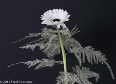 "Small ""White Gerbera"" Silver Asparagus setaceus (A.J. Boonstra) Tags: canoneos canon70d canon gerbera whitegerbera flower flowers ef100mmf28lmacroisusm falconeyesskk2150d westcottsilverumbrella jinbeiwhiteumbrella closeup"