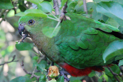 2016-12-10 Female King Parrot