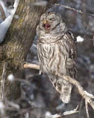 ----- Chouette rayée ------------ Barred owl ------------- Cárabo norteamericano (Jacques Sauvé) Tags: chouette rayée barred owl cárabo norteamericano yanning yawning bostezo bâillement norte americano