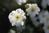 Flowers (mclcbooks) Tags: flower flowers floral macro closeup denverbotanicgardens colorado backlit backlighting