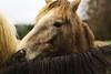 Poulains connemara (Sdine) Tags: horse poney poulain foal connemara