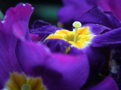 13-IMG_8535 (hemingwayfoto) Tags: blühen blüte blume facebook flora frühblüher frühling frühlingsprimel garten gartenblume gewächs natur pflanze primel primulaveris