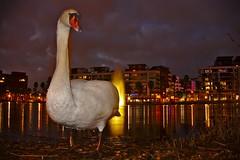 Fais moi un cygne (Marc ALMECIJA) Tags: montpellier hérault jacques coeur cygne oiseau bird nature eau water wasser aqua