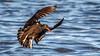 Black Oystercarcher [Explored] (Bob Gunderson) Tags: birds blackoystercatcher california haematopusbachmani heronshead northerncalifornia sanfrancisco shorebirds