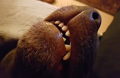 Zzzzzz Zzzzzzz.. (Michael C. Hall) Tags: dog labrador asleep head mouth teeth canine nose snout