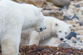 Mom and cub - Churchill