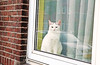 Catsterdam (kirstiecat) Tags: amsterdam noord cat feline chatte chat dutch netherlands window reflections curtain bricks catsterdam furryfriday canon europe meow
