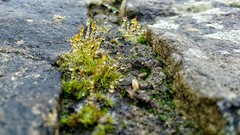 Water droplets on moss (tubblesnap) Tags: motorola motog3 mobile phone cellphone smartphone photography drystone wall moss mossy dew water droplet raindrop closeup