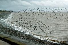 Dunlin (John of Wirral) Tags: dunlin flock birds meols seawall wirral coast liverpoolbay irishsea springtide