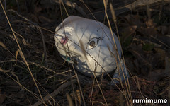 Styrofoam Head (rumimume) Tags: potd rumimume 2016 niagara ontario canada photo canon 80d sigma 2017 downtown abandon outdoor morning creepy head foam