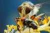 The Robberfly / แมลงวันหัวบุบ (bug eye :) Thailand) Tags: macro closeup animals wildlife insect bug bugeye fly flight magic chiangmai thailand canon