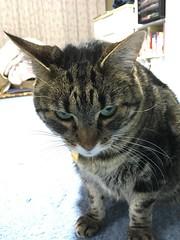 Curious Tigger (sjrankin) Tags: tigger cat animal closeup japan hokkaido yubari edited 29january2017