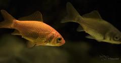 Goldfish (Paula Darwinkel) Tags: goldfish fish aquaticlife aquarium fishtank animals nature