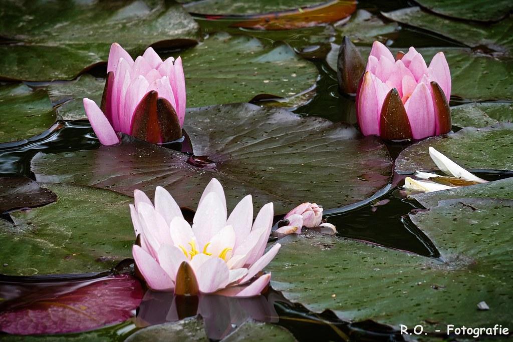 The Worlds Best Photos Of Wasserblume Flickr Hive Mind
