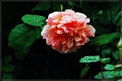 2 - Paris Muse Bourdelle Rose (melina1965) Tags: flowers roses paris flower macro fleur leaves rose fleurs leaf spring nikon ledefrance may mai macros printemps 75015 feuilles feuille 2015 d80 15mearrondissement