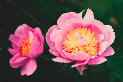 two pink and yellow peonies (Shandi-lee) Tags: pink flowers sunset sunlight white ontario canada flower green love nature floral beautiful june yellow festival composition photoshop garden ruffles outside outdoors photography evening petals spring interesting flora soft flickr natural bright gardening earth vibrant pastel pair peach naturallight peony depthoffield petal single bloom blossoming lovely sunlit delicate horticulture peonies 50mmf14 flowercloseup blooming lightroom oshawa flowergarden twoobjects naturallighting singleobject macroflower flickrflowers tumblr canoneos7d interestingflowers oshawavalleybotanicalgardens shandilee shandileee shandileecox instagram shandileephotography 155arenastreet 11thannualpeonyfestival