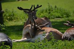 Fallow Deer (Mr G's pics) Tags: park wild animals conservation safari longleat
