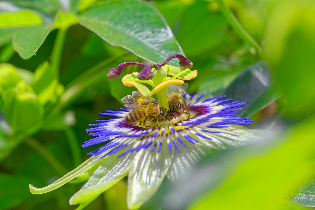 80e4d1d66 IMG 3810 (  Giacomo  ) Tags  flower nature natura bee passion ape.  Passiflora (Bardazzi Luca) Tags  fiore della passione flower passiflora  giardino ...