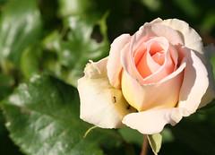 04-IMG_4224 (hemingwayfoto) Tags: rose flora pflanze blume blte insekt stadtpark facebook ameise botanik blhen duftend rosengewchs beetrose johannstraus