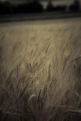 raw bread (pamelaadam) Tags: summer plant sepia digital scotland aberdeenshire wheat august fotolog wardhouse 2013 thebiggestgroup