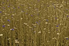 blue flowers (frasermathieson) Tags: flowers blue nud