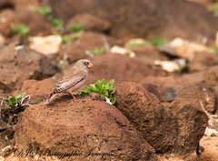 Trumpeter Finch (dave101saunders (djsphotographicimages.com)) Tags: trumpeter finch bird avian feather feathers flight flying fuerteventura spain
