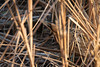 Rohrdommel (National Wildlife Photographer) Tags: rohr schilf dommel vogel natur wildlife see wasser futtersuche selten