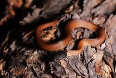 Lake Cronin Snake, Paroplocephalus atriceps. (Dan Bromley Photography) Tags: lakecronin lake cronin paroplocephalus atriceps snake snakes reptile reptiles westernaustralia southwest perth