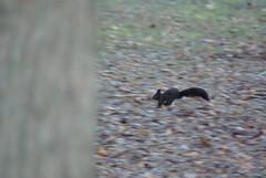 jumping in the leaves, sciurus vulgaris meridionalis, black squirrel (Fabio.Buoso) Tags: scoiattolo nero sciurus vulgaris meridionalis black squirrel