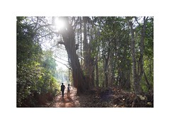 The Banyan tree (slow paths images) Tags: india southindia karnataka gokarna countryside path forest tree banyantree light sunshine people walk nature morning travel fredcan