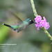 Violet-headed Hummingbird, Klais guimeti