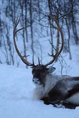 A Reindeer in Arctic Norway (Jason Shorten) Tags: nationalgeographic ngc reindeer ersfjordbotn kvaloya tromso norway arctic d5300 nikon sigma 70300mm nature animals snow ice cold