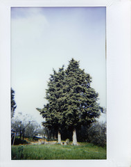 Evergreens (ale2000) Tags: instax instant lomoinstantwide instaxwide fuji wide lomography analog analogue trees evergreen sempreverde alberi winter wintertime inverno ininverno verde invernale toscana tuscany campagna country countryside