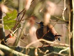 Scricciolo (ddgp) Tags: troglodytes bird scricciolo rami attraverso through wren little roitelet piemonte italia inverno racconigi winter