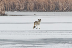 January 15, 2017 - A Coyote on the prowl in Eastlake. (Tony's Takes)