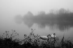 Dorney   |   Swans (JB_1984) Tags: swan bird morning mist fog water reflection jubileeriver floodrelief blackandwhite bw mono dorney southbucksdistrict buckinghamshire bucks england uk unitedkingdom nikon d7100 nikond7100 explore explored