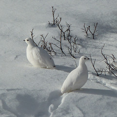 It's those white birds again (annkelliott) Tags: alberta canada kananaskis rockymountains canadianrockies nature ornithology avian bird birds whitetailedptarmigan lagopusleucura white smallestgrouseinnorthamerica alpine featheredtoes camouflage snow fall autumn outdoor 22november2016 fz200 fz2004 annkelliott anneelliott ©anneelliott2016 ©allrightsreserved explore interestingness190 explore2017february07